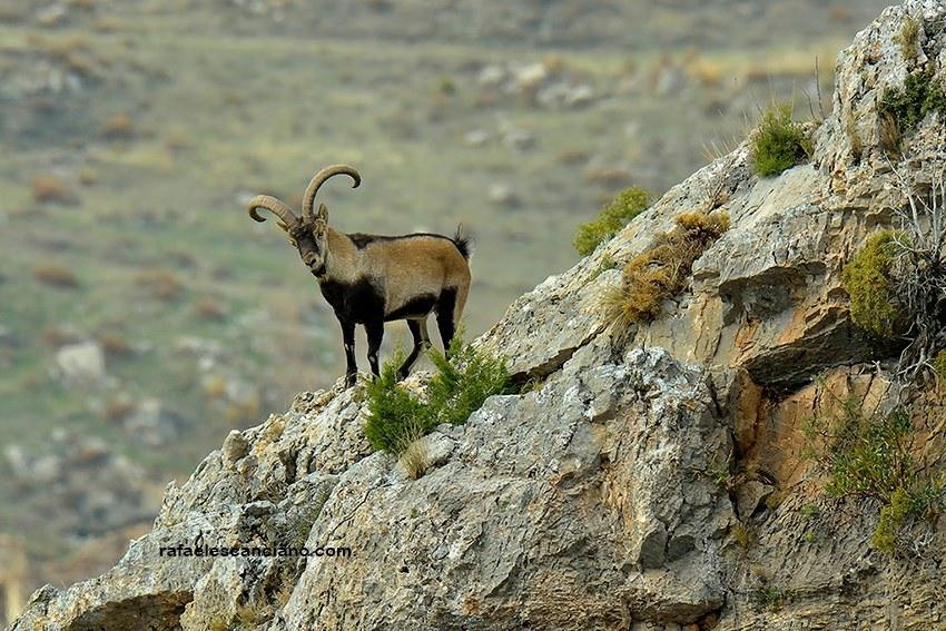 mamifero-cabra-montesa