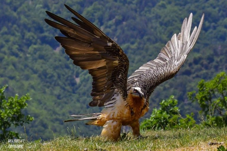 Quebrantahuesos-abriendo-alas