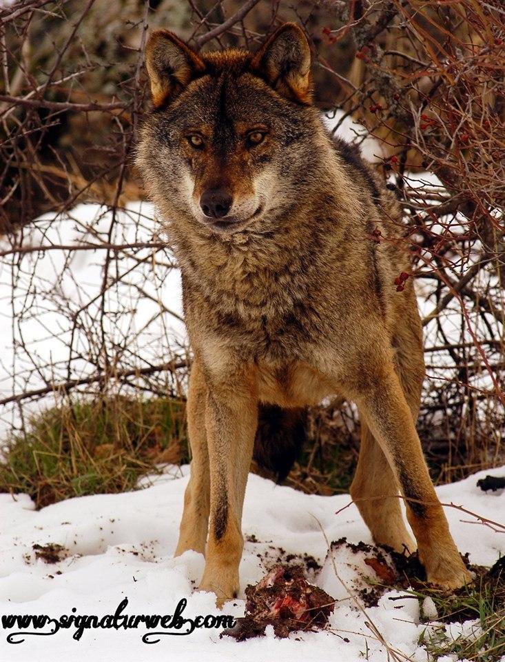 lobo-iberico-signatur