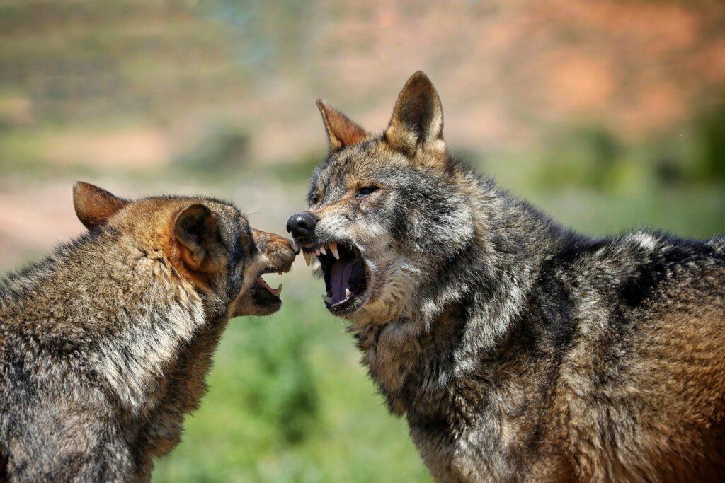 lobos-ibericos-pareja