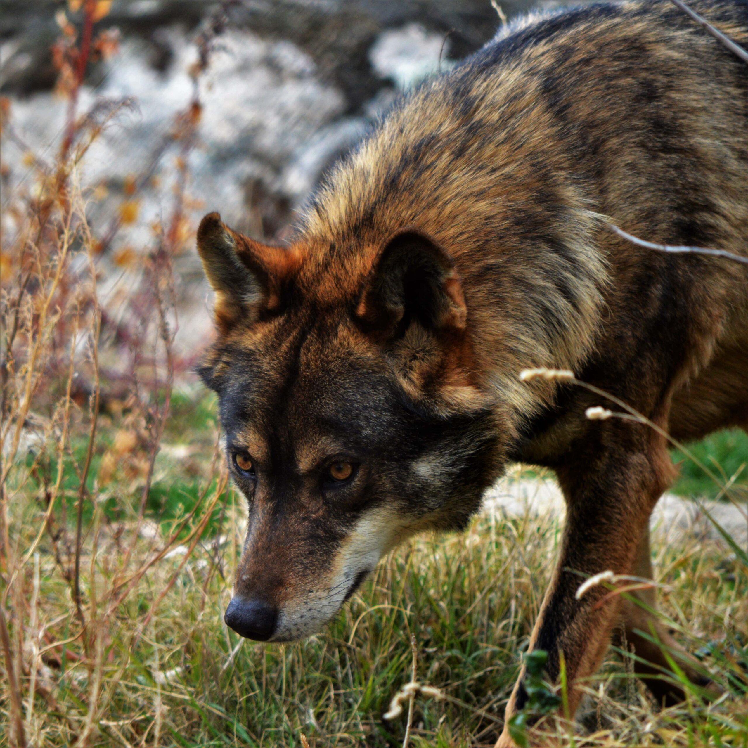 lobo-iberico-cabeza