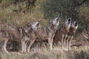 lobo-iberico-manada