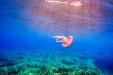 posidonia-medusa
