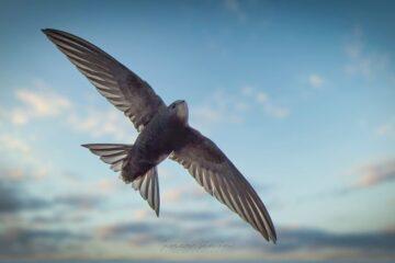 vencejo-comun-vuelo