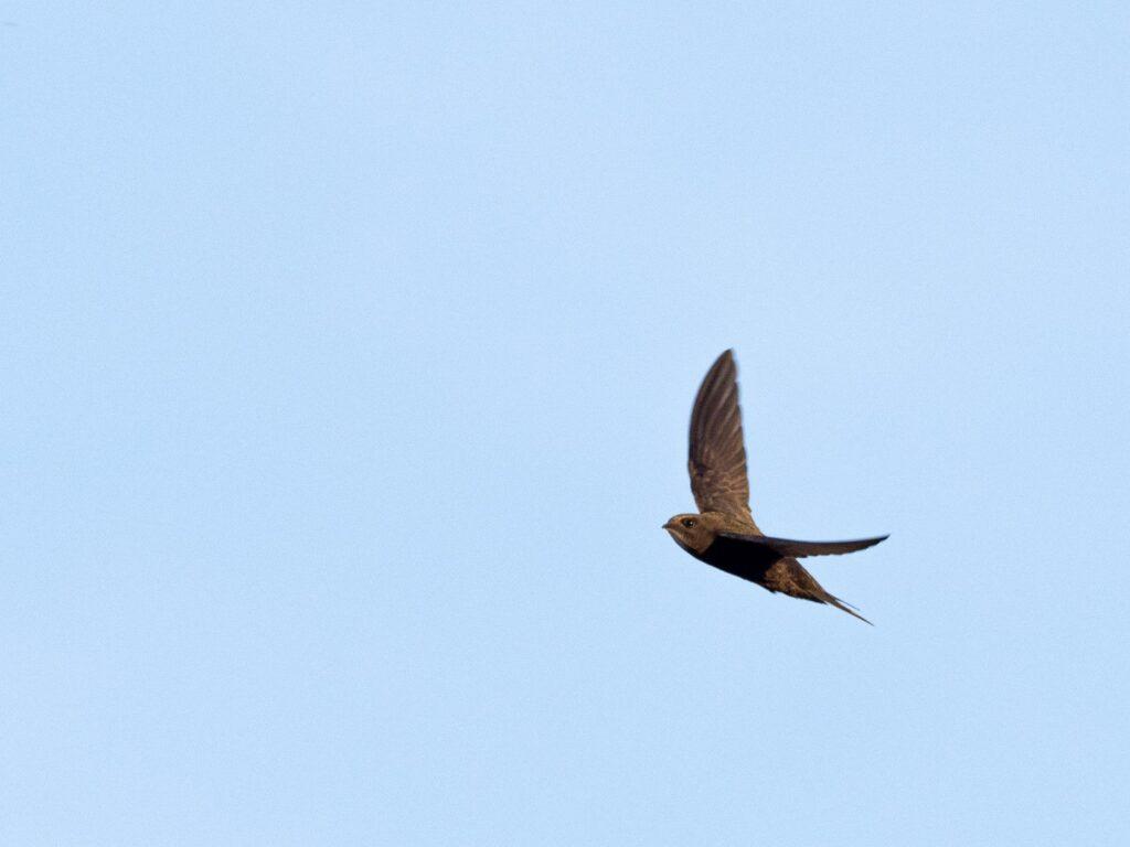 vencejo-volando