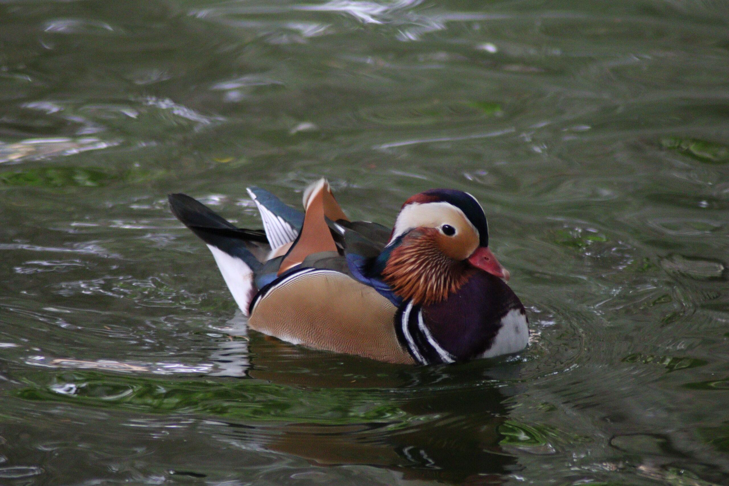 pato-mandarin-nadando