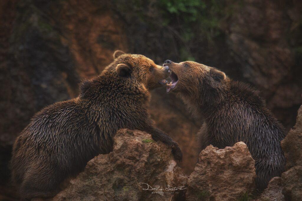 osos-pardos-defensa