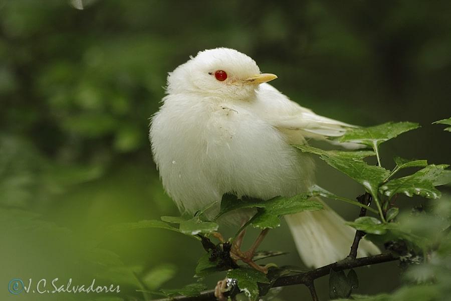 petirrojo-albinismo