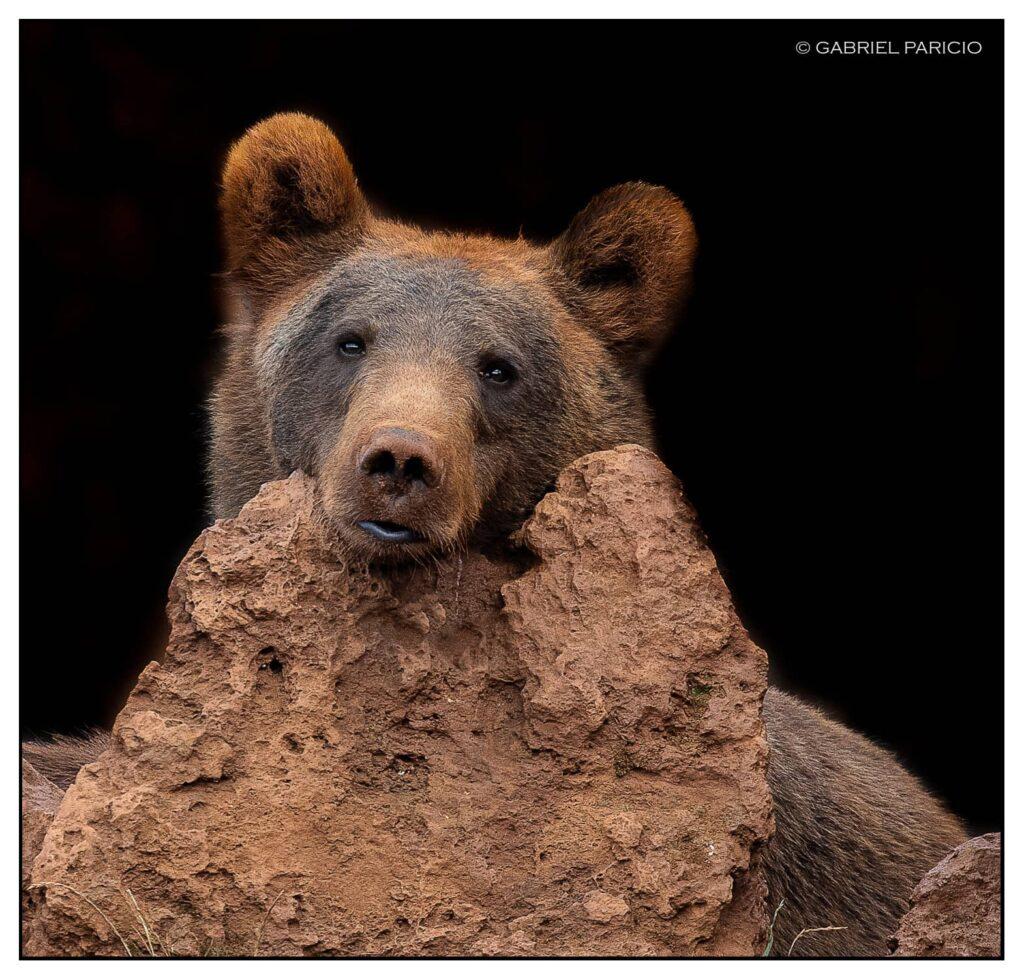 oso-pardo-apoyado