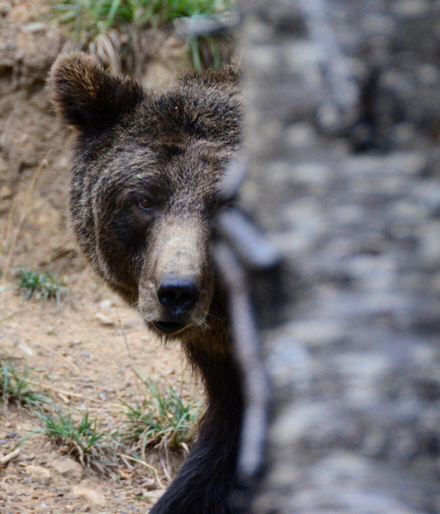 oso-pardo-asomado